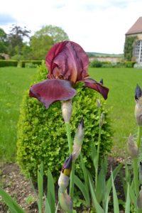 Iris pourpre